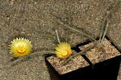DIGITOSTIGMA CAPUT MEDUSAE (jeffs bulbesetpots) Tags: cactus caput medusae digitostigma