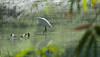 Little Egret (Egretta garzetta) (Imthyas Ahmed Shirajee) Tags: bird nature birds photography nikon university photographer eagle little wildlife photographers delta east ahmed egret ctg bangladesh vr bangla wildlifephotographer birdwatcher chittagong 70300 egrettagarzetta egretta d90 garzetta imti pakhi littleegretegrettagarzetta birdsofbangladesh chattagram nikonbangladesh imthyas shirajee mehidibag