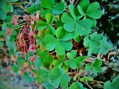 ♣ (Maya Dusty) Tags: flowers flores verde green dusty nature maya samsung suerte trebol treboles st77 mayadusty samsungst77