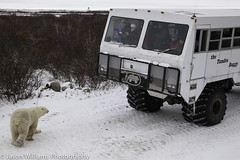 "Polar Bear in Churchill facing off with a Tundra Buggy. • <a style=""font-size:0.8em;"" href=""http://www.flickr.com/photos/92120860@N06/8453682317/"" target=""_blank"">View on Flickr</a>"