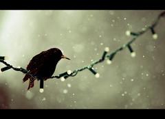 VVired (Dan Haug) Tags: christmas winter snow canada landscape snowflakes eos lights wire backyard european bokeh birding snowstorm starling scene getty wired 5d flakes europeanstarling sturnusvulgaris vulgaris wintery 14x sturnus 70200mmf28isl 5dmkii gettyimagesartist