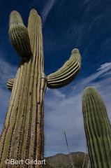 Saguaro (1 of 2)