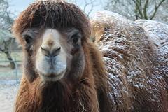 Big Boy Napoleon  Explore # 313 ( 9-2-2013 Thanks !!! (excellentzebu1050) Tags: closeup farm explore camel coth camelus explored animails camelusbactrianus 100commentgroup coth5 mygearandme photographyforrecreation thegoldenachievement rememberthatmomentlevel1 rememberthatmomentlevel2 vigilantphotographersunite vpu2 vpu3