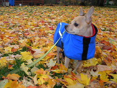 (lucidcats) Tags: blue autumn red orange dog brown black green fall grass leaves yellow vancouver washington leaf state vancouverwa thebestyellow