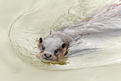 Otter [Explored] (amylewis.lincs) Tags: uk england urban nature animal mammal nikon britain wildlife norfolk sigma british d3 lutralutra 2013 150500mm