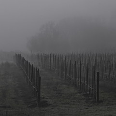 Phalanx (blueteeth) Tags: mist mystery for vineyard vines mood perspective rows desaturated depth stakes trellises