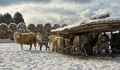 move closer together (hjuengst) Tags: schnee winter snow sheep wolken hdr schafe nikond7000hdr