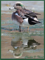 American Wigeon (ctofcsco) Tags: coloradosprings colorado unitedstates usa explore canon 1div 400mm 2x extender specanimal the~wonders~of~nature gününeniyisi thebestofday rememberthatmomentlevel4 rememberthatmomentlevel5 rememberthatmomentlevel1 rememberthatmomentlevel2 rememberthatmomentlevel3 rememberthatmomentlevel6 rememberthatmomentlevel9 rememberthatmomentlevel10 springs united states co nancy lewis park wigeon reflection ice water 1d mark iv ef400mm f28l ii usm ef400mmf28liiusm america northamerica telephoto bokeh ef2x extenderef2xii eos1d eos1dmarkiv eos 4 mark4 800mm supertelephoto duck ducks ducklike waterbird teleconverter ef2xii best wonderful perfect fabulous great photo pic picture image photograph