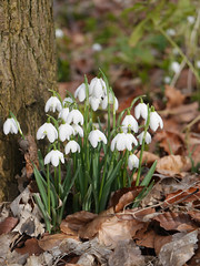 (yvonnepay615) Tags: uk winter nature lumix norfolk panasonic snowdrops walsingham 45mm eastanglia gh3 sooc