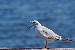 850E5580 - Gulls commander (crimsonbelt) Tags: park sea nature birds creek dubai wildlife gulls