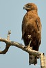 Brown snke eagle (Arno Meintjes Wildlife) Tags: africa park camp wallpaper holiday color art nature animal animals closeup southafrica bush wildlife safari explore endangered animalplanet mammalia rsa krugernationalpark mpumalanga krugerpark carnivore birdwatcher excellence big5 naturelovers knp sanparks naturesfinest naturescall flickrsbest meintjes brownsnakeeagle circaetuscinereus colorphotoaward arnomeintjes naturewatcher internationalgeographic naturesgreenpeace