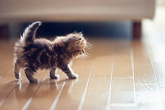 First Steps (torode) Tags: cute japan walking tokyo persian kitten tail tiny daisy flooring narrowdof torode