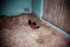 Bantums (Saturated Imagery) Tags: chickens film leeds meanwood pointandclick meanwoodurbanfarm epsonv500 agphotographic photoshopelements9 agfavistaplus200