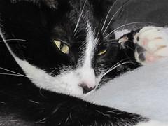 Trying to sleep here dad! (WJB1961) Tags: cats pets cute rambo canonpowershot sooc bestofcats kittyschoice catmoments