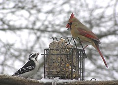 Chatting over Suet (mudder_bbc) Tags: birds downywoodpecker cardinal explore woodpeckers suet backyardwildlife northerncardinal backyardbirdwatching backyardbirdfeeders