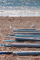 Gulls resting DSC_1972.jpg (Sav's Photo Gallery) Tags: uk sea england beach coast pebbles gb hastings d7000 landscapesunny savash savashdjemal savsphotogallery