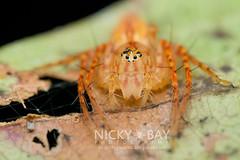Lynx Spider (Hamataliwa sp.) - DSC_8379 (nickybay) Tags: macro spider singapore lynx oxyopidae upperpeircereservoir hamataliwa
