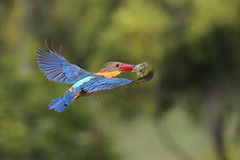Flying fish (kampang) Tags: fishing hunt storkbilledkingfisher pelargopsiscapensis