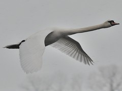 Thru the Snow...... (l_dewitt) Tags: swan waterfoul muteswan winterimages bluffpointstatepark swanimages nikonimages waterfoulimages muteswanimages bluffpointimages