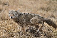 what coyotes think of photographers 20130213_9532 (GORGEous nature) Tags: coyote winter mammal washington scenic february predator wetland vertebrates canislatrans clarkco ridgefieldnwr johndavis