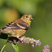 American Goldfinch...#3