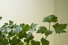 DSC_1101 (dan-morris) Tags: lighting green up leaf nikon soft close 1855mm dslr vr corriander f3556g 1855mmf3556gvr d3100
