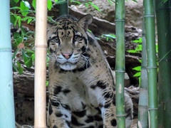 Back again? (beachkat1) Tags: moby zooatlanta cloudedleopard