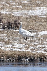 Visit by a Snow Goose (USFWS Mountain Prairie) Tags: snowgoose nationalelkrefuge