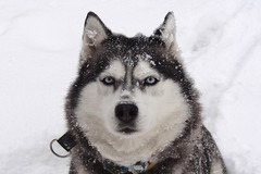 Husky dog Szarka (radimersky) Tags: winter portrait dog snow animal europe sony poland cybershot pies portret zima compact nieg syberian szarka zwierze snih  icehusky haski   niwki dschx9v sibirskiy husyky