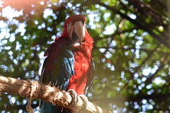 Perched Up High (Isabela Martin) Tags: bird animal nature macaw parrot red leaves outdoor colourful trees