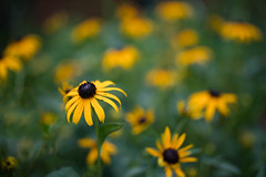 Rudbeckia Dream (Jim.Collins) Tags: flowers flower nature zeiss rudbeckia picturesque fantasticflower otus1455 zeissotus
