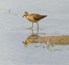 IMG_9563 (LincolnWarrior) Tags: bird nature wildlife wader ruff godwit blacktailedgodwit frampton lincolnshire
