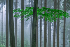 * (sedregh (on/off)) Tags: nebel eifel fog mist wald forest woods landschaft landscape blau grn blue green bltter foliage sommer summer