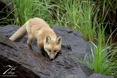 Thirsty kit (Seventh day photography.ca) Tags: redfox fox animal wildanimal wildlife predator mammal ontario canada kit young spring