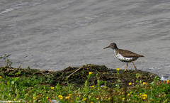 Rare Spotted Sandpiper in Northumberland (Sophiee_webster) Tags: rare rarebird northumberland rarebirdnorthumberland uk rarebirduk spotted sandpiper spottedsandpiper lowhauxley northumberlandwildlifetrust wildlifetrust wildlife nature naturereserve northumberlandcoast