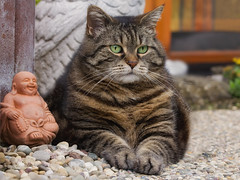 Be Zen ! (FocusPocus Photography) Tags: cleo katze cat chat gato tier animal haustier pet feline buddha zen tabby getigert