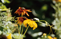 Rudbeckia (chrism229) Tags: pentaxsf1 100mmf28 rolleicrossbird200 argentixaristae6kit hasselbladx1