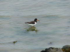 Oystercatcher  P1030996 (LesD's pics) Tags: birds gulls seabirds