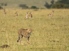Walking Cheetah being Carefully Watched by Gazelles (John Hallam Images) Tags: cheetah walking watched gazellesmara masaimara kenya safari