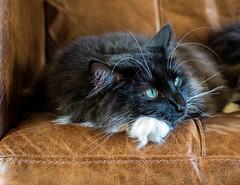 On the Sofas (Percy the cat) (Olympus OMD EM5II & mZuiko 25mm f1.8 Prime Lens) (1 of 1) (markdbaynham) Tags: cat feline big pet cute whiskers black eyes olympus oly omd em5 em5ii csc mirrorless evil mft microfourthirds m43 m43rd micro43 mz zd zuikolic zuiko percy 25mm f18 prime