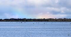 Rainbow (pnaudi) Tags: water lakeconnewarre rainbow sky birds swans nature reserve geelong colour nope nopeople beautyinnature
