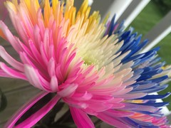 Wildly colored flowers (hyphenated_czech) Tags: multicolored beauty nature closeup colorful flowers