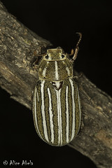 Ten-lined June Beetle (Polyphylla decemlineata) - Female (aliceinwl1) Tags: az arizona arizona2016 arthropod arthropoda coleoptera insect insecta linedjunebeetle melolonthinae melolonthini peñablancaarea polyphaga polyphylla polyphylladecemlineata santacruzcounty scarabbeetle scarabaeidae scarabaeoidea tenlinedjunebeetle beetle decemlineata locpublic viseveryone
