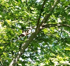 Yellow-billed Cuckoo_N8765 (Henryr10) Tags: ottoarmlederpark hamiltoncountyparkdistrict cincinnati ottoarmledermemorialpark armlederpark littlemiamiriver greatparksofhamiltoncounty yellowbilledcuckoo cuckoo coccyzus coccyzusamericanus avian bird vogel ibon oiseau pasare fågel uccello tékklistar ybcu