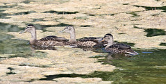 Mallard Ducklings (Anas platyrhynchos); Albuquerque, NM, Tingley Beach Park [Lou Feltz] (deserttoad) Tags: insect animal dragonfly flora park pond odonate newmexico