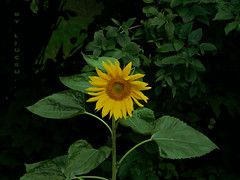 """ Hello, It's Me ... :-) "" (ljucsu) Tags: plant flower outdoor sunflower summer summerflower july julyflower gardenflower"