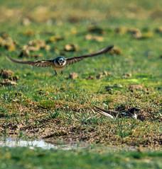 Swooping tree swallow (AWLancaster) Tags: sony sigma birding wow bird lightroom wings treeswallow beautifulfeathers birds beautifulbird swallow