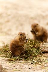 IMG_0877.jpg (TvdMost) Tags: prairiehond cynomys prairiedog wildlands emmenzoo zoo prariehondje wildlandsemmen prariehond
