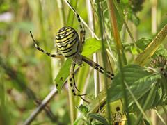 Wasp Spider - Argiope bruennichi (Prank F) Tags: cambourne wildlifetrust cambsuk wildlife nature arachnid macro closeup spider wasp argiopebruennichi