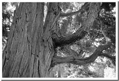 I segni dell'et (Cristina Negrini) Tags: albero tree bianconero bn wb natura nature tronco